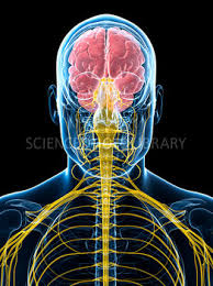 brain and upper cervical system